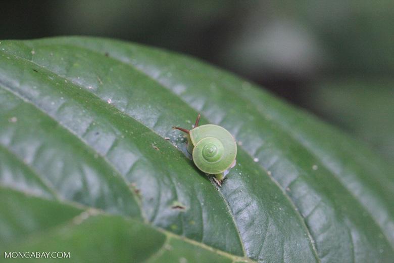 Green snail [kalbar_1443]