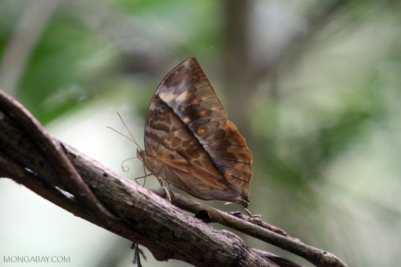 Camouflaged butterfly [kalbar_1461]