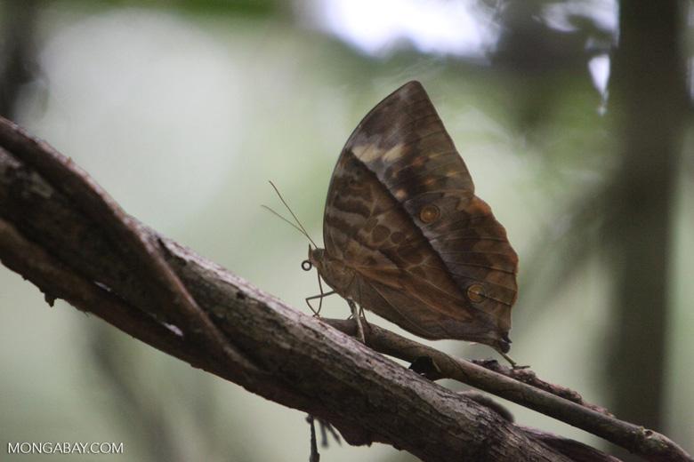 Butterfly that looks like a leaf [kalbar_1465]