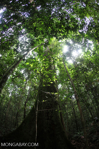 Rainforest in West Kalimantan, Indonesia [kalbar_1487]