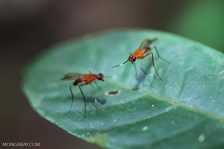 Orange flies with purple eyes [kalbar_1527]