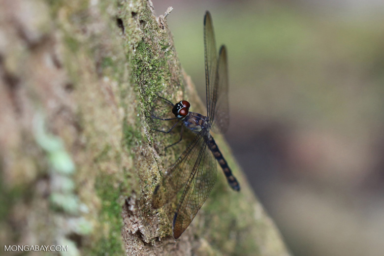 Red-eyed dragonfly