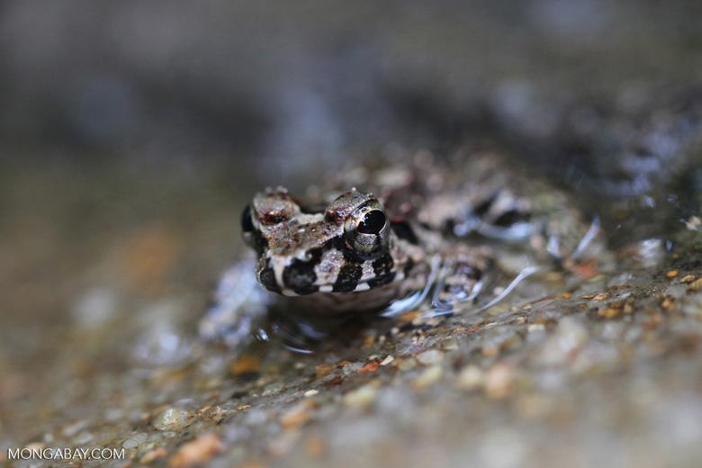 Borneo frog