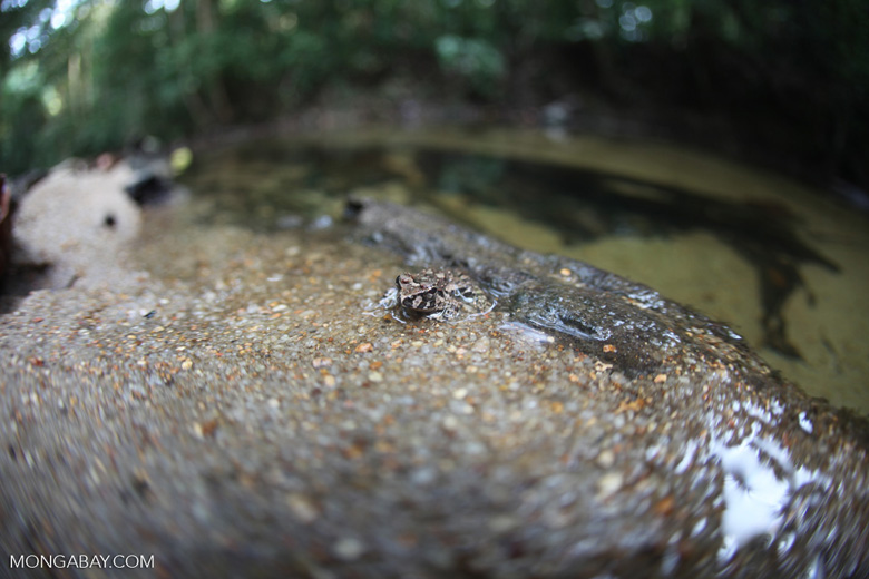 Frog on a river beach in Borneo [kalbar_1656]