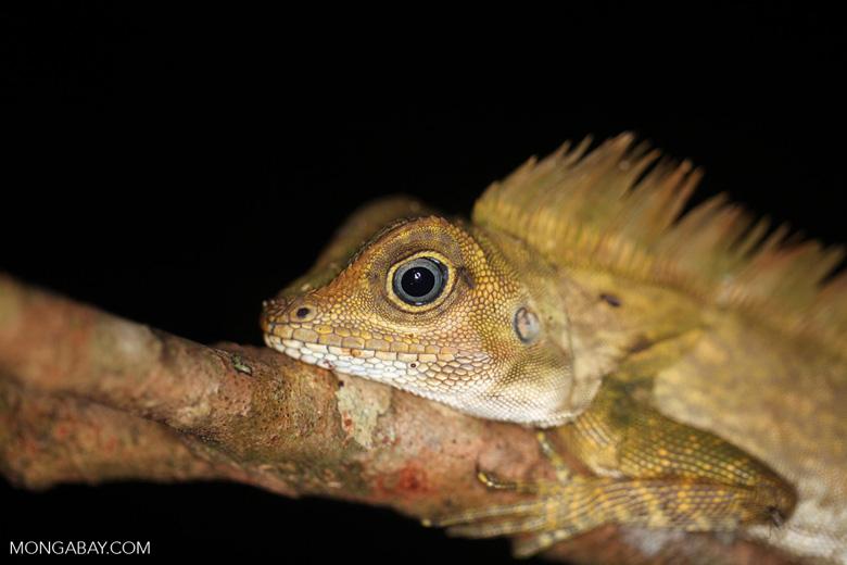 Forest dragon with blue eyes [kalbar_1681]