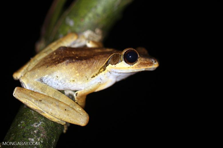 Tree frog [kalbar_1695]