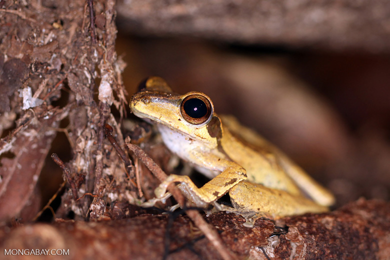 Tree frog [kalbar_1687]