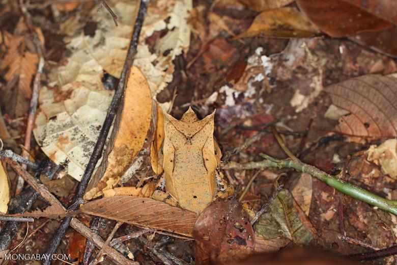 Asian Horned Frog (Megophrys nasuta)