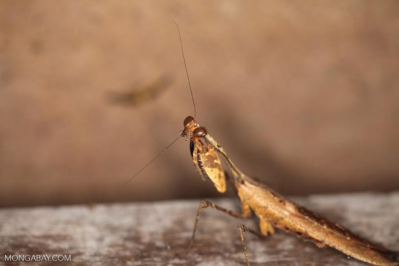 Wood-like praying mantis [kalbar_1718]