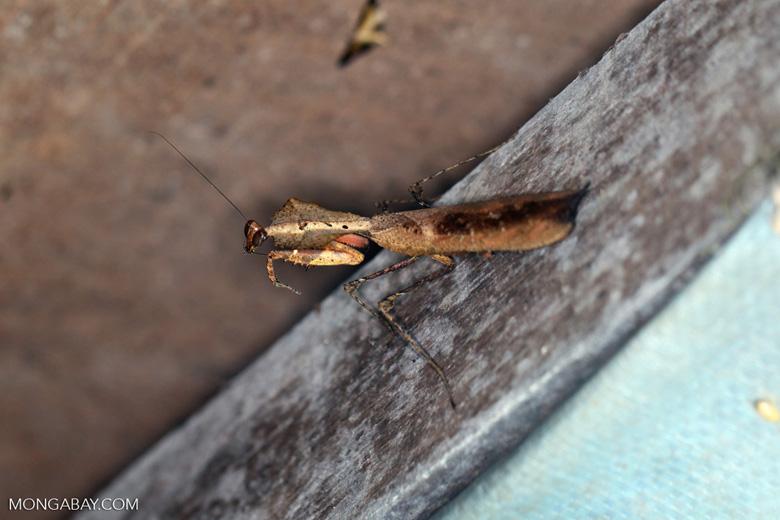 Wood-like praying mantis [kalbar_1720]