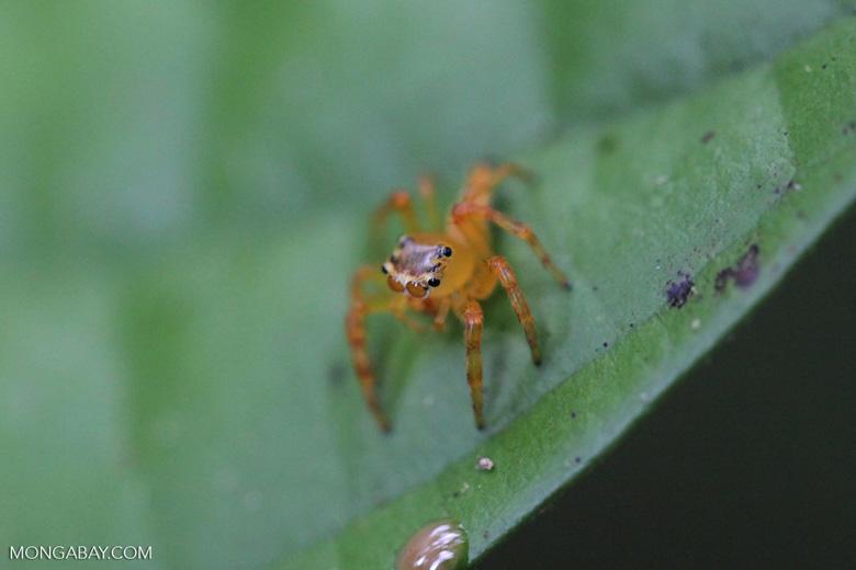 Orange jumping spider [kalbar_1730]