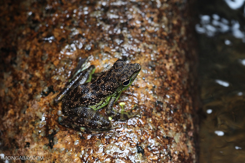 Green-bellied waterfall frog [kalbar_1759]