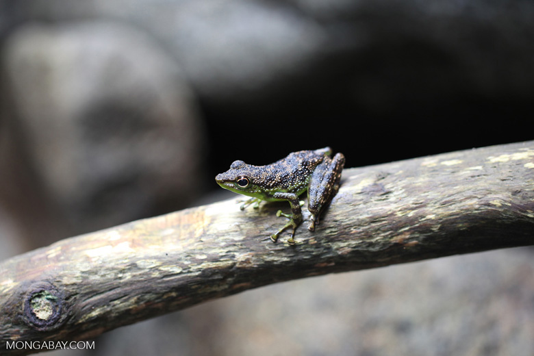 Green-bellied waterfall frog [kalbar_1768]