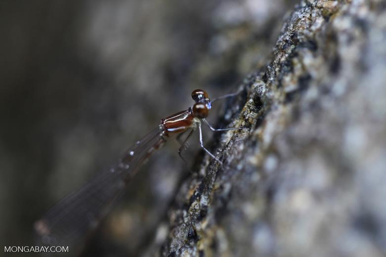 Gold dragonfly [kalbar_1767]