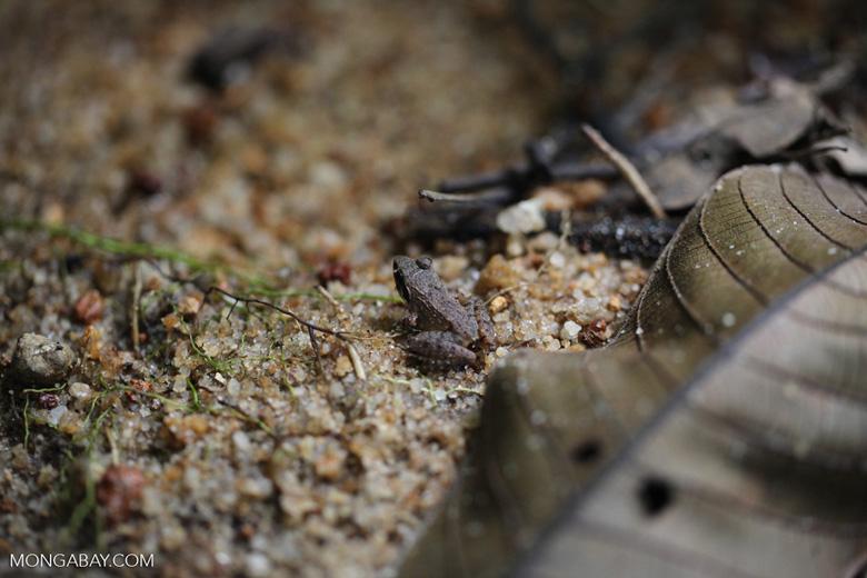 Ground frog [kalbar_1895]
