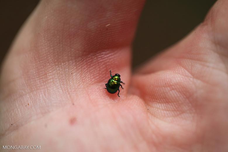 Green metallic beetle [kalbar_1908]