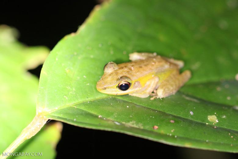 Frog [kalbar_1931]