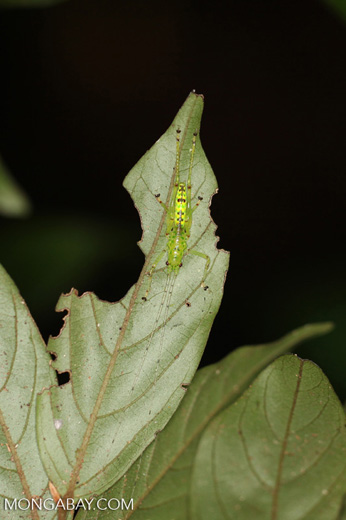 Bright green katydid [kalbar_1949]