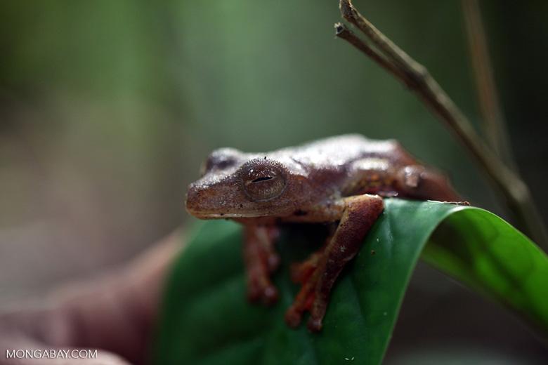Flying tree frog (Rhacophorus pardalis) [kalbar_2007]