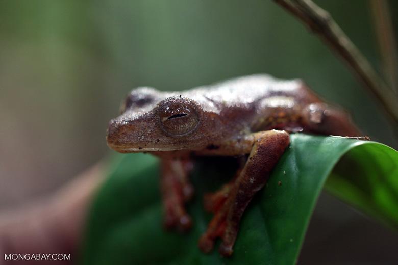 Flying leopard frog (Rhacophorus pardalis) [kalbar_2008]