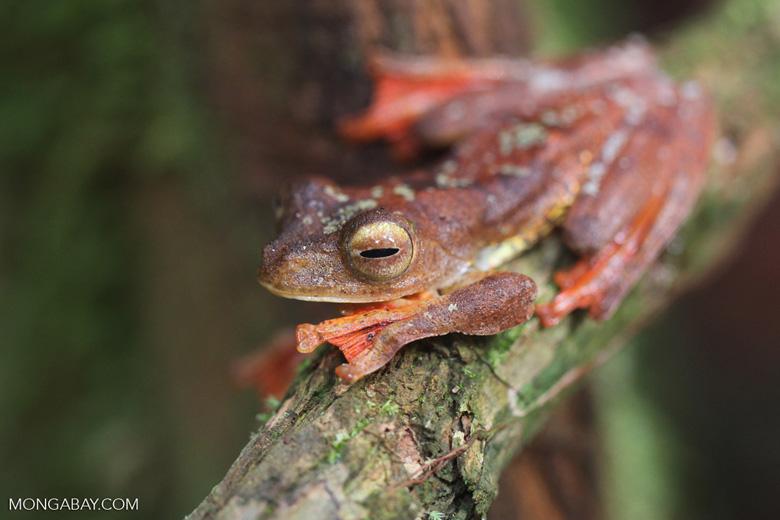 Flying leopard frog (Rhacophorus pardalis) [kalbar_2032]