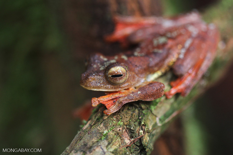 Bornean Gliding leopard tree frog (Rhacophorus pardalis) [kalbar_1986]