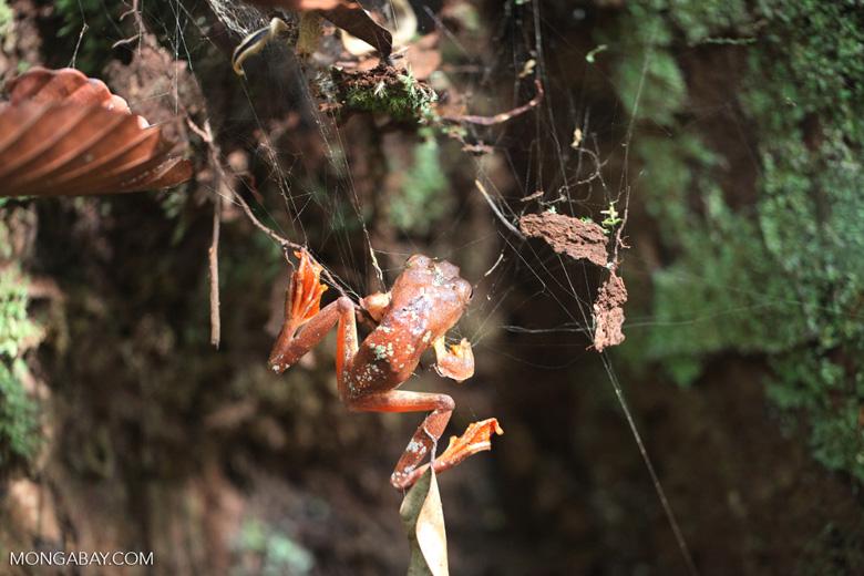 Gliding leopard tree frog (Rhacophorus pardalis) [kalbar_2002]