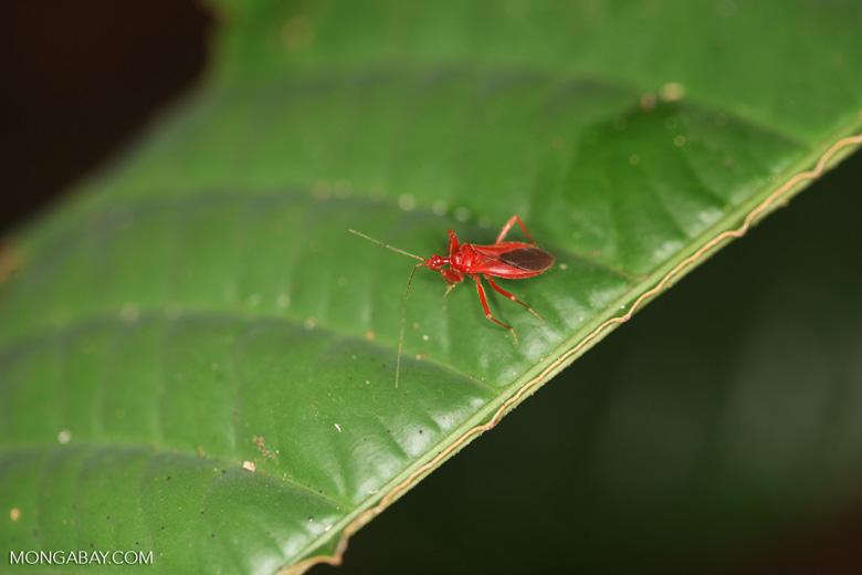 Red assassin bug [kalbar_2062]