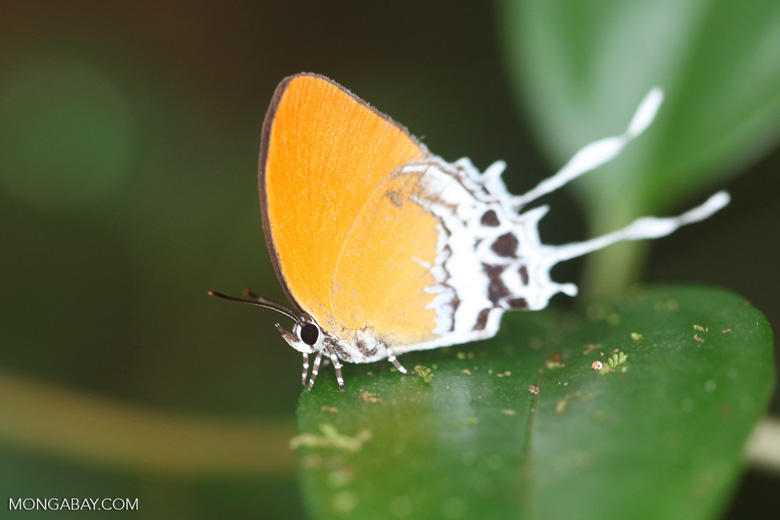 Orange butterfly with white streamers [kalbar_2104]