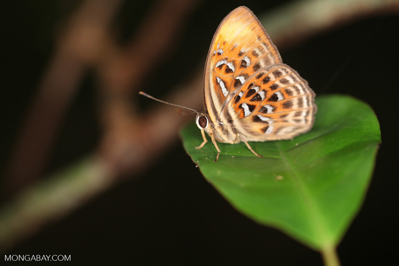 Orange and red butterfly with blue and black spots [kalbar_2115]