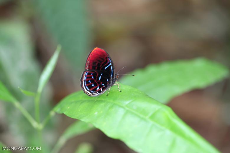 Malay Red Harlequin butterfly (Paralaxita damajanti) [kalbar_2146]