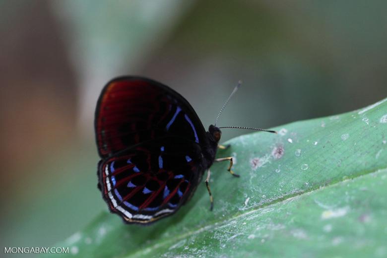 Malay Red Harlequin butterfly (Paralaxita damajanti) [kalbar_2151]