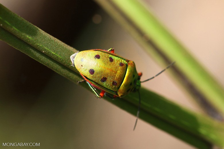 Green and orange beetle with six spots [kalbar_2168]