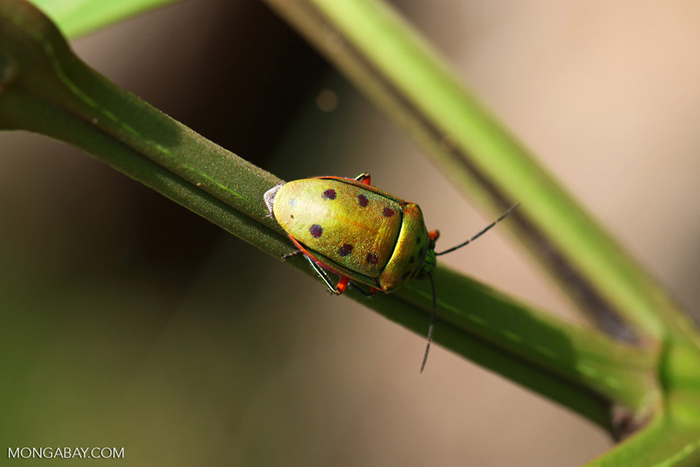 Green and orange beetle with six spots [kalbar_2170]