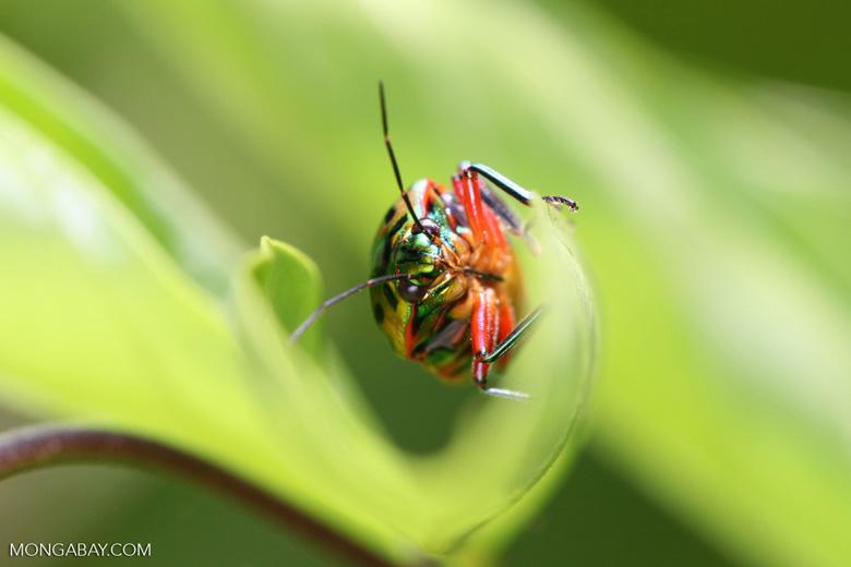 Multicolored beetle [kalbar_2176]
