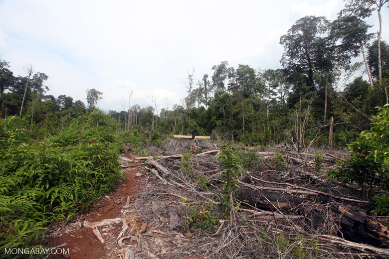 Illegal logger harvesting timber near Gunung Palung National Park [kalbar_2212]