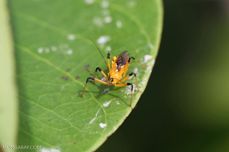Orange assassin bug [kalbar_2225]