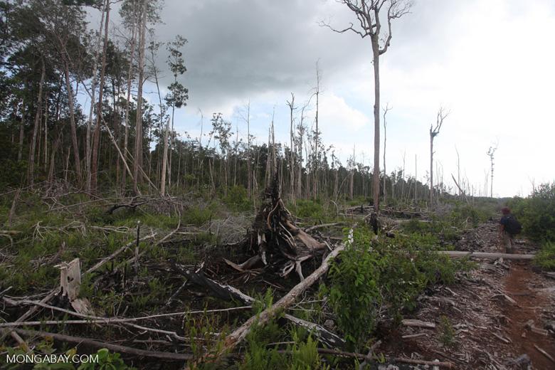 Deforested peatlands in Borneo