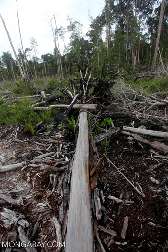 Cut and drained peat swamp forest