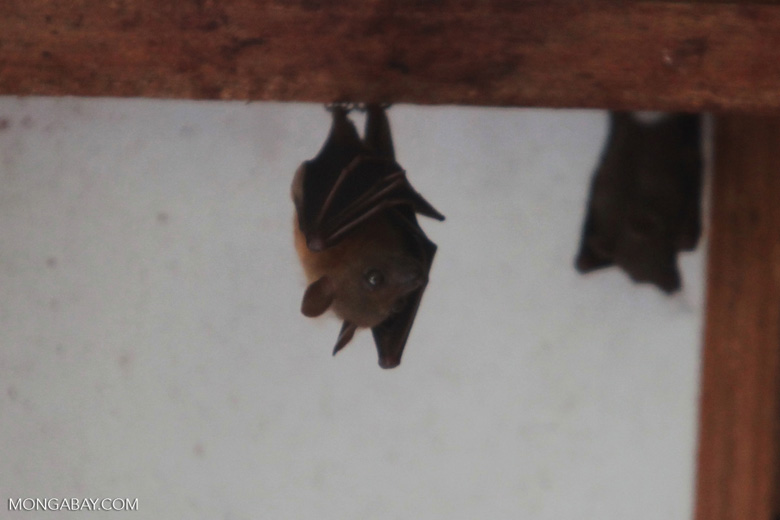 Fruit bat [kalimantan_0076]