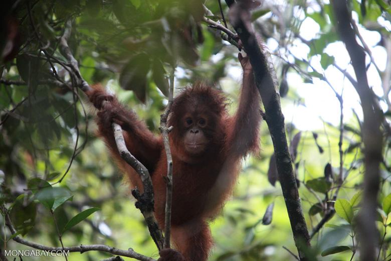 Baby Orangutan holding onto tree with both feet