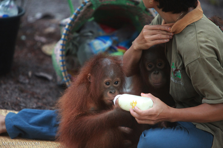 Orphaned Orangutan drinking milk while another looks on