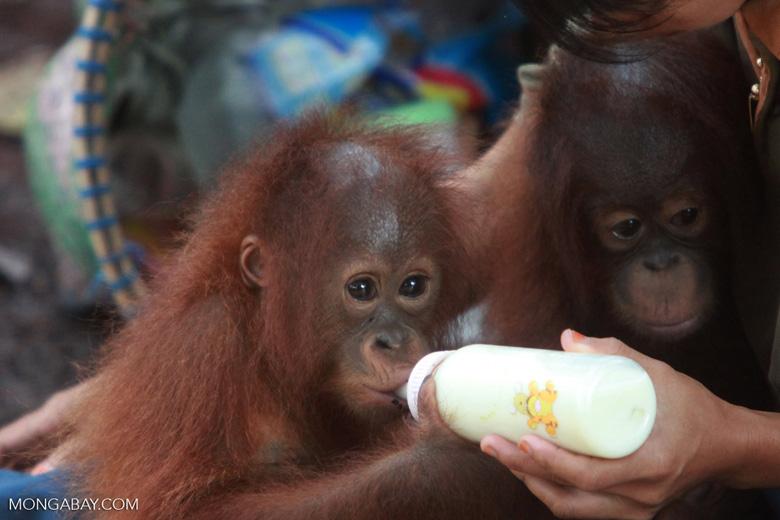 Close Up On Baby Orangutan with Bottle