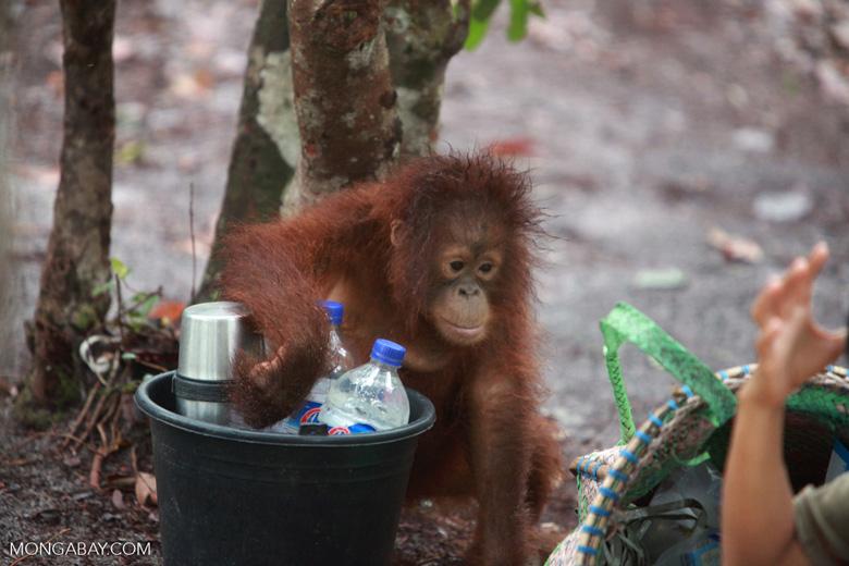 Baby Orangutan looking for a bottle