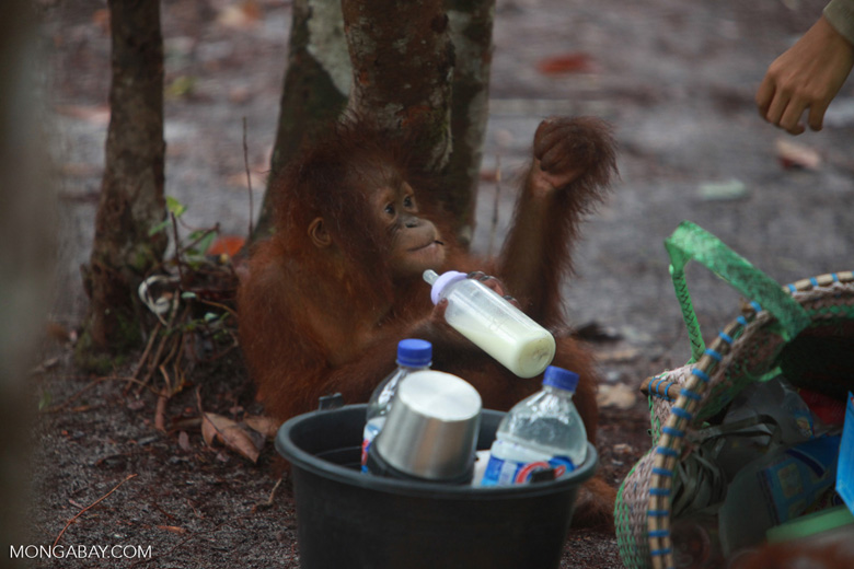 Baby Orangutan after finding the bottle