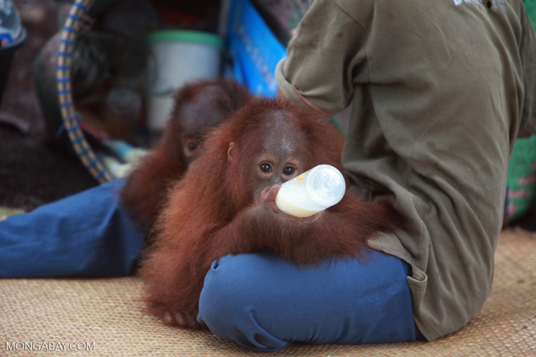 Orphaned orangutan finishing the bottle [kalimantan_0111]