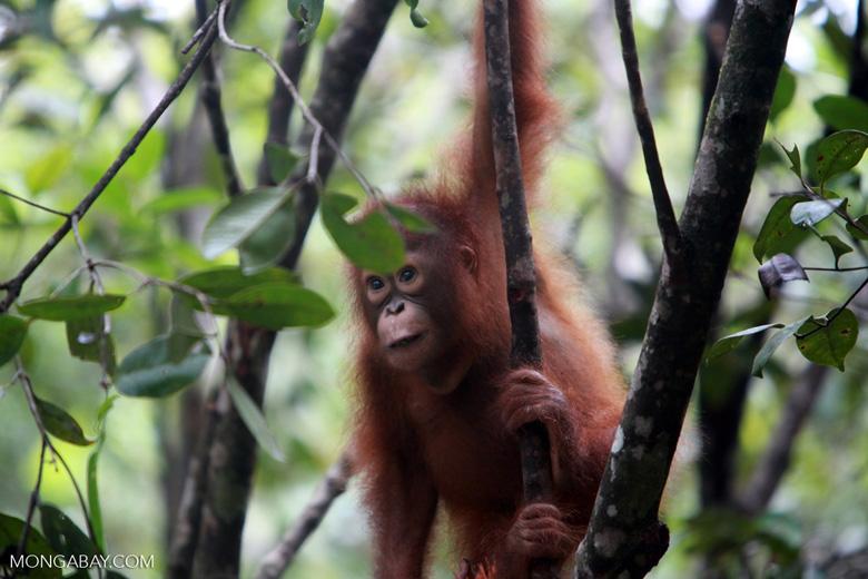 Baby Orangutan looking for leaves to eat