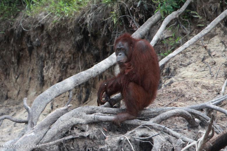 Orangutan crounching on dead tree
