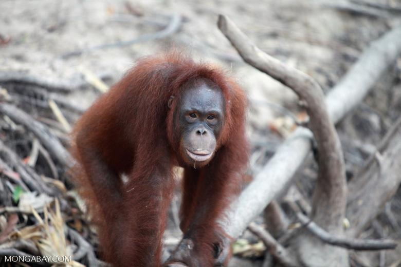 Full Lipped Orangutan [kalimantan_0177]