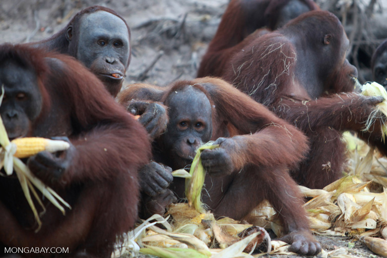 Orangutans feasting on corn